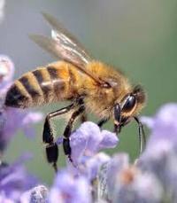 tite abeille