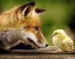 Foxhound16289
