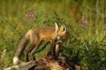 RedFoxs
