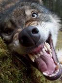 Evilwolf