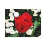 tulipe59