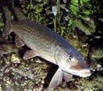 Pêche du silure 3228-15