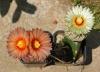 Astrophytum Asterias Cultivar Flowers