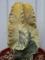 Q-cactus
