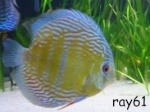 ray61
