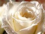 الورده البيضاء