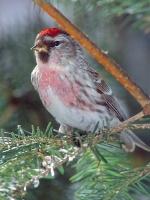 Le Mordu-d'Oiseaux.