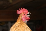Petites annonces avicoles 410-45