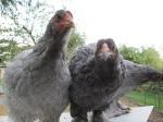 Petites annonces avicoles 565-15