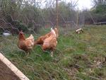 Petites annonces avicoles 866-95