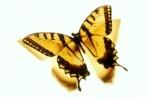 الفراشة الذهبية