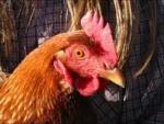 Chick3nman512