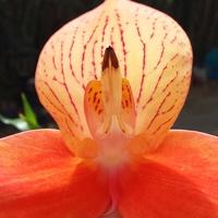 Cattleya, Laelia, Guarianthe : Botaniques et Hybrides Primaires 1046-60