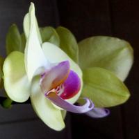 Forum Orchidées Cattlaelia, une passion à partager 1079-60