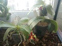 Forum Orchidées Cattlaelia, une passion à partager 1108-56