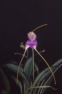 Orchidées en fleurs 1173-25
