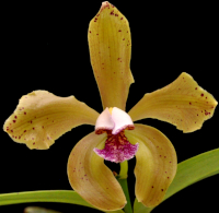 Culture des Paphiopedilum, Phragmipedium, Mexipedium 183-28