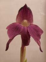 Pollinisation des Orchidées 279-66