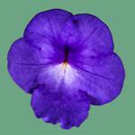 orkidor
