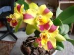 Identifier votre orchidée 470-26