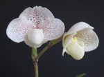 Culture des Paphiopedilum, Phragmipedium, Mexipedium 485-69