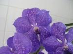 Pollinisation des Orchidées 494-15