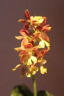 Orchidées terrestres d'Europe 541-8