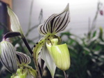 Paphiopedilum, Phragmipedium, Mexipedium, Selenipedium 603-38