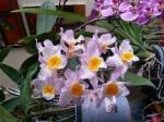 Culture des Dendrobium 606-97