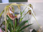 Culture des Paphiopedilum, Phragmipedium, Mexipedium 612-81
