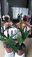 Culture des Paphiopedilum, Phragmipedium, Mexipedium 675-42