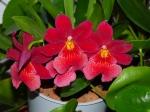 Orchidées terrestres d'Europe 686-10