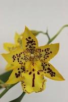 Culture des Dendrobium 793-47