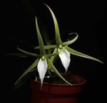 Galerie de vos Orchidées en fleurs et Orchidées in situ 867-50