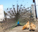 Prairie Chick