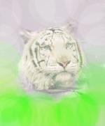 chaman tigre blanc