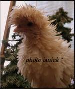 Les Pigeons, colombes et tourterelles 10617-96