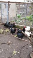 Les races de poules anglaises 2014-87