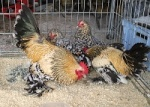 Les poules : Les Races Naines d'origine et/ou Réduction de Grande Race 444-45