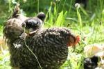 Les races de poules françaises 5919-93