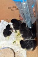 Les races de poules asiatiques 9134-98