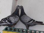 Les oiseaux de cages et de volières 9337-42
