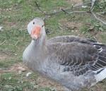 Les Pigeons, colombes et tourterelles 9771-0