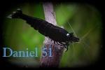 daniel51