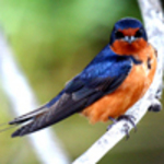 Avian Swallow