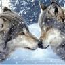 Lobo Plateado