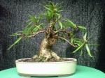 jake4bonsai