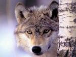 wolf 74