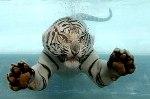 tiger_yei