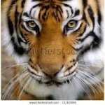 Tigregerar